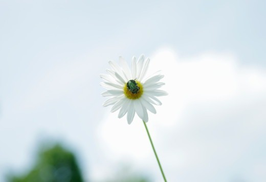 Beetle on daisy flower : Stock Photo