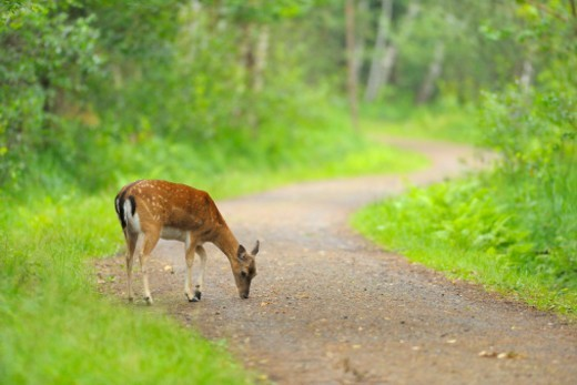 Stock Photo: 1598R-10078888 Fallow deer, Dama dama, on Dirt Road, Summer,  Hesse, Germany