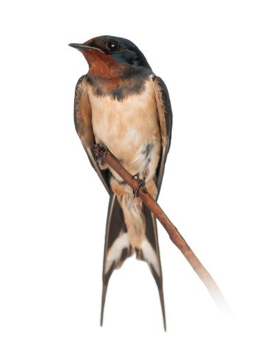 Stock Photo: 1598R-10081790 Barn Swallow - Hirundo rustica,  standing on a branch