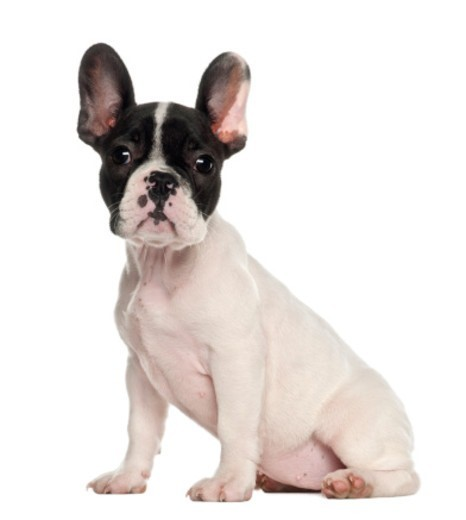 French Bulldog puppy (10 weeks old) sitting : Stock Photo