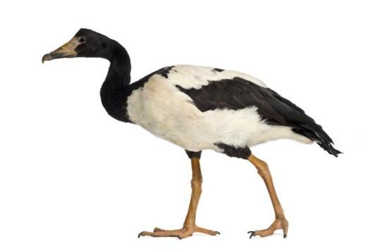 Magpie Goose - Anseranas semipalmata (2 years old) : Stock Photo