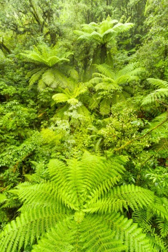 Stock Photo: 1598R-10082106 overhead view of tree ferns