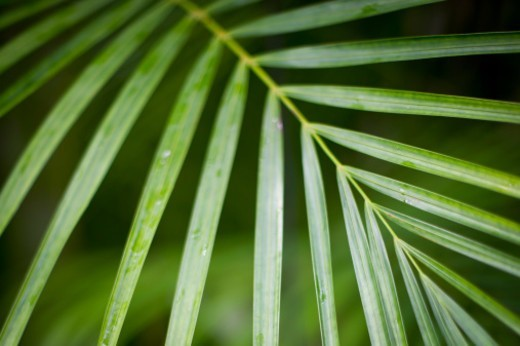 Close up of a bright green leaves on a palm branch : Stock Photo