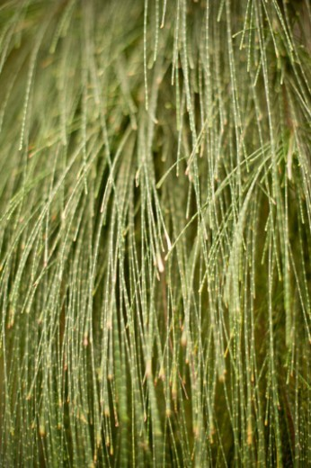 Close up of a green whisk fern, or Moa plant growing in Hawaii : Stock Photo