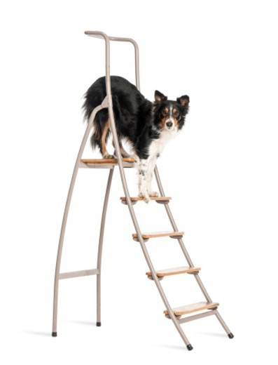 Stock Photo: 1598R-10084793 Border Collie standing on a ladder