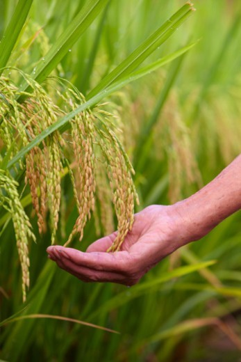 Stock Photo: 1598R-10085185 human hand hooding ripe rice in the rice paddy