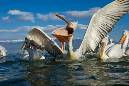 Dalmatian Pelican Pelecanus crispus Lake Kerkini Greece : Stock Photo