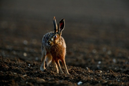Stock Photo: 1598R-10085458 Brown (European) Hare Lepus europaeus Norfolk