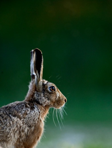 Stock Photo: 1598R-10085460 Brown (European) Hare Lepus europaeus Norfolk
