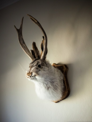 The Jackalope is a mythical creature of American folklore. It is supposedly half jackrabbit and half antelope.   This taxidermied trophy is a common example of one. : Stock Photo
