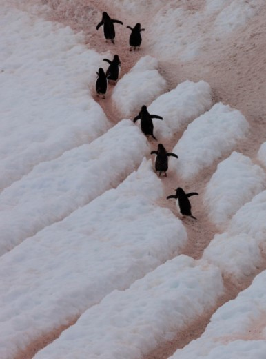 Stock Photo: 1598R-10091435 Gentoo penguins, Antarctica