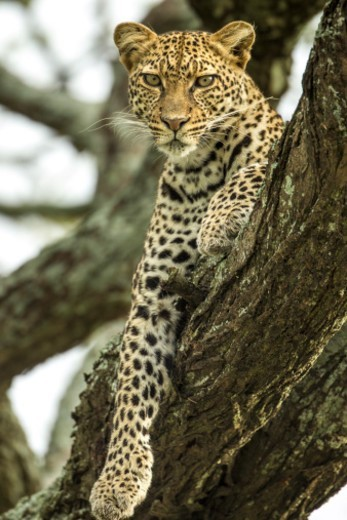 Stock Photo: 1598R-10091872 Tanzania, Ngorongoro Conservation Area, Ndutu Plains, Leopard (Panthera pardus) resting in tree branch at dawn