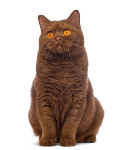British Shorthair (20 months old) sitting and looking up : Stock Photo
