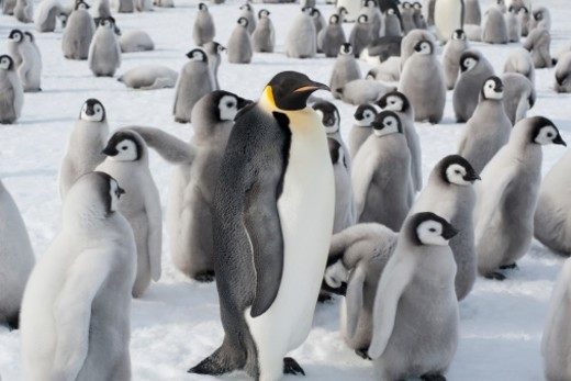 Stock Photo: 1598R-10095203 A group of Emperor penguins, one adult animal and a large group of penguin chicks. A breeding colony.