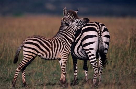Masai Mara National Reserve : Stock Photo