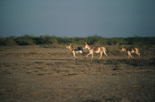 Three Indian wild asses (Equus heminous khur) running on field, Raan of Kutch, India : Stock Photo