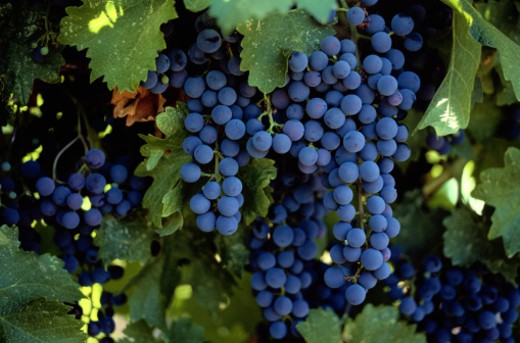 Stock Photo: 1598R-107991 Merlot Grapes