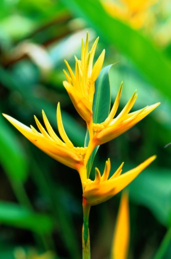 Stock Photo: 1598R-109373 Close-Up of Beaked Heliconia Flower