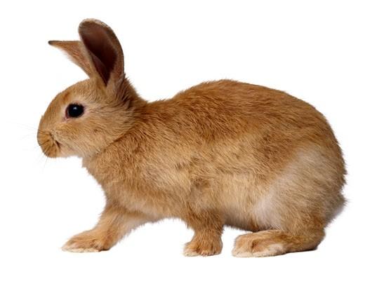 Stock Photo: 1598R-110580 Rabbit