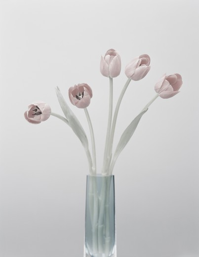 Pale pink tulips in vase : Stock Photo