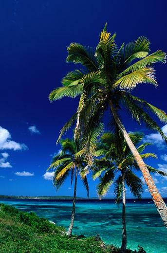 Palm Trees at New Caledonia : Stock Photo