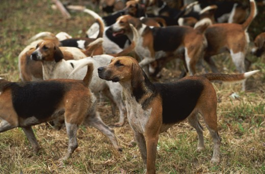 Stock Photo: 1598R-125926 Fox Hunt Hounds