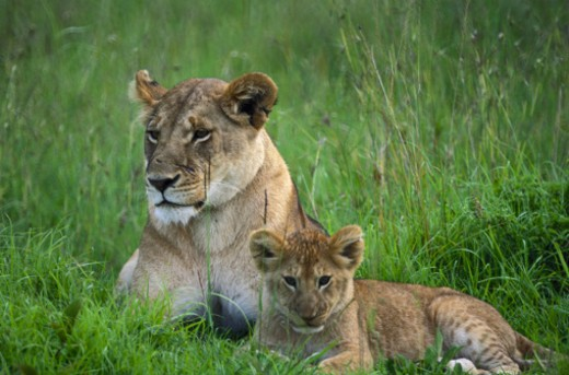 Stock Photo: 1598R-128773 Lioness and Cub