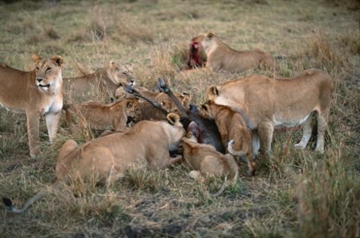 Stock Photo: 1598R-129664 Group of lioness (Panthera leo) eating its prey, Masai Mara N.R, Kenya