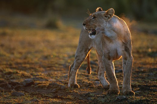 Lioness (Panthera leo) standing and snarling, Masai Mara, Kenya : Stock Photo