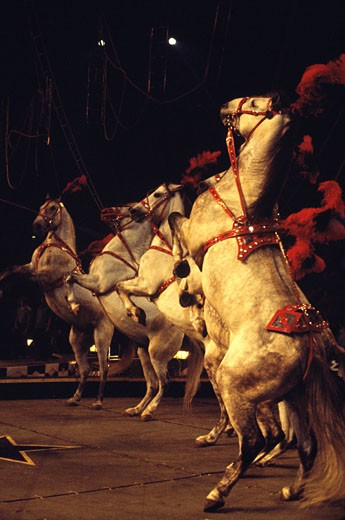 Four circus horses standing on hind legs : Stock Photo