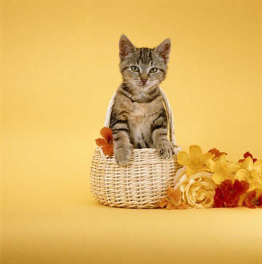 Stock Photo: 1598R-137981 Kitten in basket