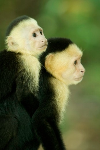 Monkey carrying back on back in tree : Stock Photo