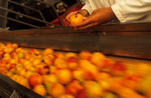 Stock Photo: 1598R-142642 Inspecting  peaches on conveyor belt