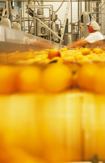Inspecting peaches on conveyor belt : Stock Photo