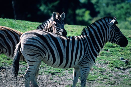 Zebra (Equus burchelli) in park, close-up : Stock Photo