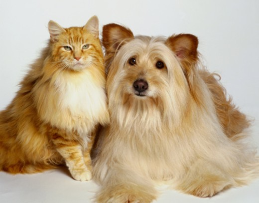 Stock Photo: 1598R-148025 Cat and Dog