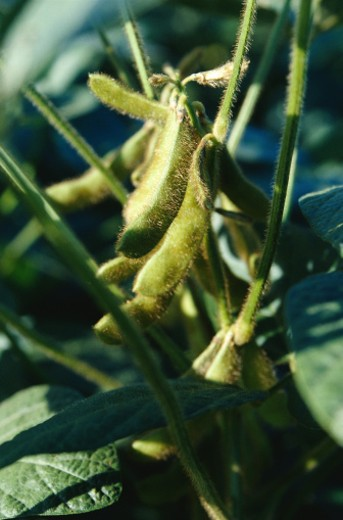 Close-Up of Soybean Plant : Stock Photo