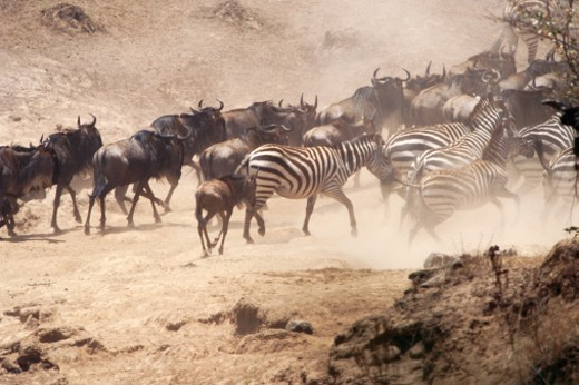 Stock Photo: 1598R-155274 Wildebeest and Burchell's zebra in dust storm