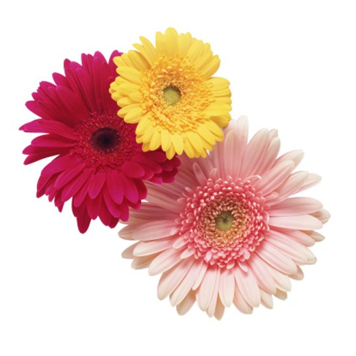Three Gerbera Daisy : Stock Photo
