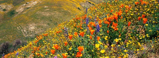 Stock Photo: 1598R-160823 Hillside of Poppies