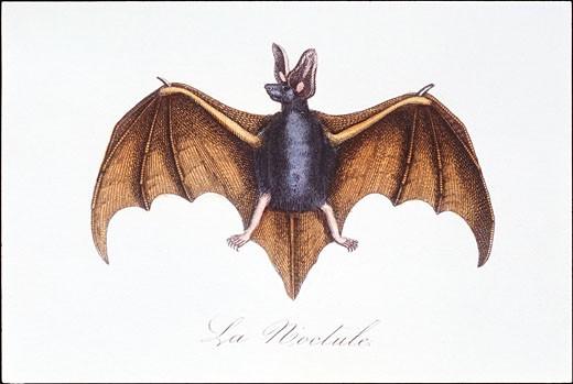 Bat : Stock Photo
