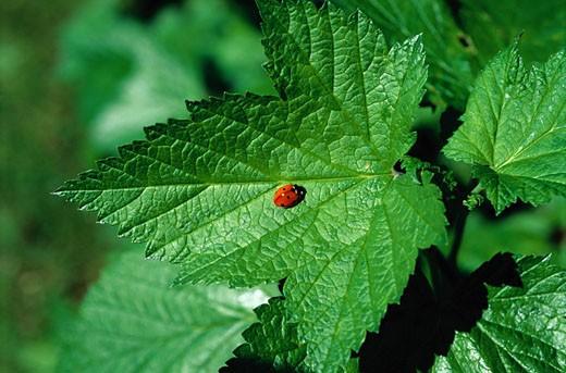 Stock Photo: 1598R-166083 Ladybug
