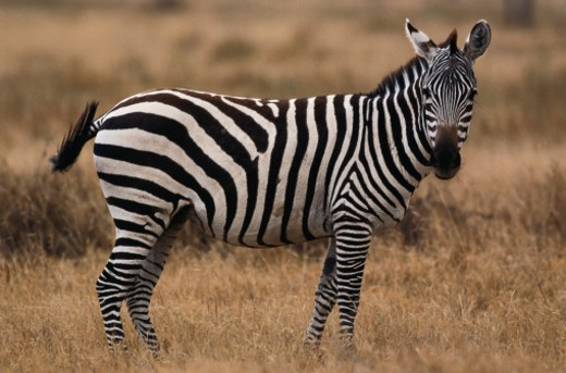 Burchell's Zebra : Stock Photo