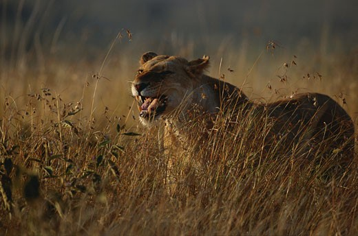 Stock Photo: 1598R-167100 Lion (Panthera leo) standing and watching, Masai Mara, Kenya