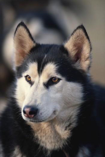 Dog looking away, close up : Stock Photo