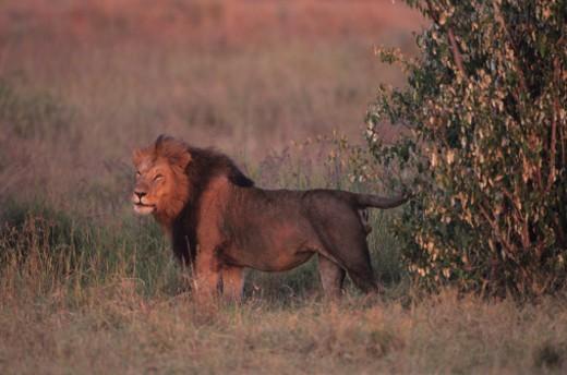 Stock Photo: 1598R-180570 Masai Mara National Reserve