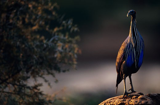 Stock Photo: 1598R-180766 Vulturine guineafowl (Acryllium vulturinum) standing at sunset, Samburu National Reserve, Kenya