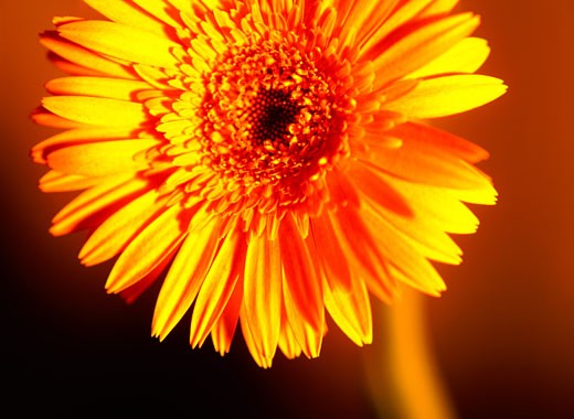 Stock Photo: 1598R-184667 Close-Up of a Yellow Gerbera Daisy