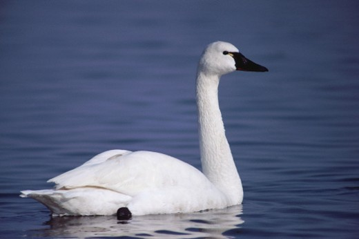 Whistling swan on water : Stock Photo