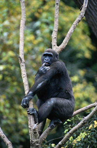 Mountain gorilla (Gorilla gorilla) sitting in tree : Stock Photo
